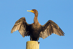 Double-Crested Cormorant Drying Wings, Phalaccrocorax auritus