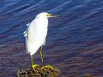 Snowy Egret at Jamaica Bay Wildlife Refuge, Gateway National Recreation Area, Queens, New York, Egretta thula