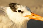 Royal Tern, Thalasseus maximus, Sterna maxima