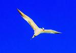 Royal Tern Preening, Thalasseus maximus, Sterna maxima