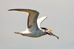 Royal Tern Flying with Fish in Mouth, Thalasseus maximus, Sterna maxima