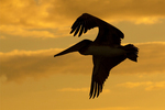 Brown Pelican Flying Silhouetted at Sunset, Pelecanus occidentalis