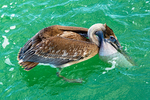 Brown Pelican Draining Water Out of Pouch, Pelecanus occidentalis