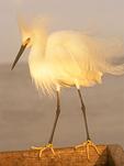 Snowy Egret on Sanibel Island Pier, Florida, Egretta thula