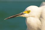 Snowy Egret Head and Eye, Egretta thula