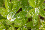 Water Droplets on Lupine Leaves, Lupinus latifolius