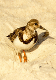 Ruddy Turnstone, Arenaria interpres