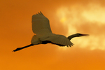 Great Egret Flying at Sunset, Great White Egret, Common Egret, Ardea alba, Egretta alba, Casmerodius albus