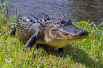 American Alligator Walking onto Land, Alligator mississippiensis