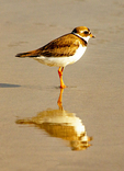 Piping Plover Reflection, Charadrius melodus