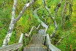 Hellcat Swamp Trail Wooden Boardwalk in Summer, Parker River National Wildlife Refuge, Plum Island, Newburyport, Massachusetts