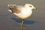 Ring-billed Gull Standing on one leg, Larus delawarensis