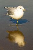Reflection of Ring-billed Gull Standing on one leg, Larus delawarensis