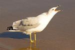 Ring-billed Gull Squawking, Larus delawarensis