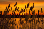 Sunset Through Phragmites, Parker River National Wildlife Refuge, Plum Island, Newburyport, Massachusetts