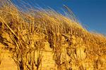 Sand Dunes Stabilized by Beach Grass, Ammophila breviligulata, American beachgrass, American marram grass A. breviligulata