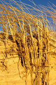 Sand Dunes Stabilized by Beach Grass, Ammophila breviligulata, American beachgrass, American marram grass