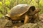 San Cristobal Galapagos Tortoise, Chelonoidis nigra chathamensis, Chelonoidis chathamensis, Geochelone nigra chathamensis, Geochelone chathamensis, Chelonoidis nigra