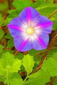 Morning Glory, Ipomoea indica
