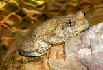 Canyon Tree Frog, Hyla arenicolor