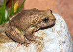 Canyon Tree Frog, Hyla arenicolor