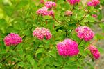Rosey Spiraea, Spiraea densiflora