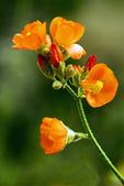 Desert Globemallow, Apricot Mallow, Sphaeralcea ambigua
