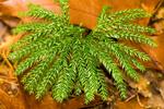 Princess Pine, Rare Clubmoss, Ground Pine, Prince's Pine, Lycopodium obscurum