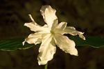 Quadruple Trillium, Large-flowered Trillium, Trillium grandiflorum