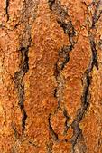 Ponderosa Pine Bark, Bull Pine, Blackjack Pine, Western Yellow-pine, Pinus ponderosa