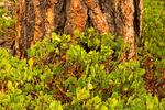 Greenleaf Manzanita and Ponderosa Pine, Bull Pine, Blackjack Pine, Western Yellow-pine, Pinus ponderosa