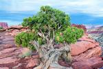 Utah Juniper at Gooseneck Point, Juniperus osteosperma, Capitol Reef National Park, Utah