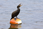 Double-Crested Cormorant Perched on Buoy Squawking, Charles River, Boston, Massachusetts