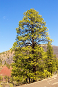 Ponderosa Pine Tree and Sunset Crater Volcano National Monument, Volcanic Cinder Cone, Flagstaff, Arizona