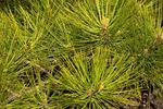 Ponderosa Pine Needles, Bull Pine, Blackjack Pine, Western Yellow-pine, Pinus ponderosa