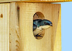 Tree Swallow in Nest Box, Tachycineta bicolor, Iridoprocne bicolor