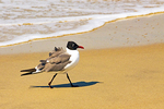 Laughing Gull on Beach, Larus atricilla, Leucophaeus atricilla