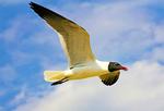 Laughing Gull Flying, Larus atricilla, Leucophaeus atricilla