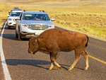 Bison Jam on Park Road, Yellowstone National Park, Wyoming