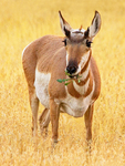 Pronghorn Antelope Feeding, Antilocapra americana