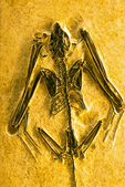 Icaronycteris index, Bat Fossil, Fossil Butte National Monument, Kemmerer, Wyoming