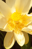 American Lotus, Nelumbo lutea