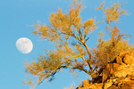 Full Moon and Palo Verde, Phoenix Mountains Park, Phoenix, Arizon