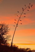Agave Sunset, Fort Bowie National Historic Site, Arizona