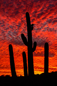 Saguaro Sunset on The Victoria Mine Trail, Organ Pipe Cactus National Monument, Sonoran Desert, Arizona