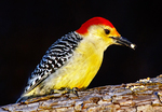 Male Re-bellied Woodpecker Feeding on Seeds, Melanerpes carolinus