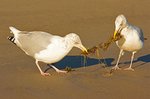 Two Herring Gulls Fighting Over Seaweed, Larus argentatus smithsonianus