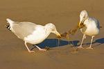 Two Herring Gulls Fighting Over Seaweed, Larus argentatus smithsonianus