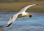 Herring Gull Flying with Crab in Mouth, Larus argentatus smithsonianus, Larus smithsonianus