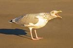 Herring Gull Squawking, Larus argentatus smithsonianus, Larus smithsonianus